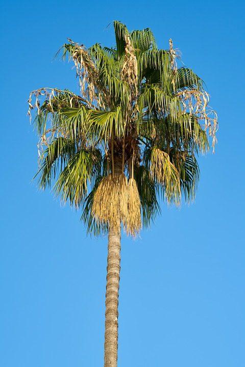sabal_palm-tree
