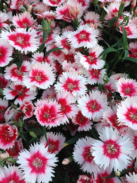 white-and-red-dianthus