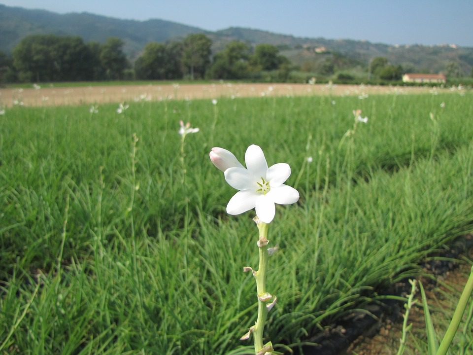 white-tuberose