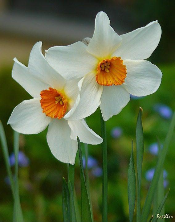 white-daffodils