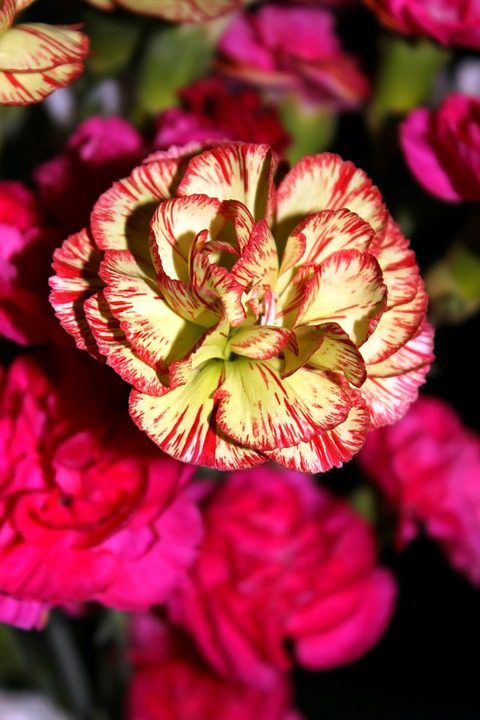 yellow-and-pink-carnations
