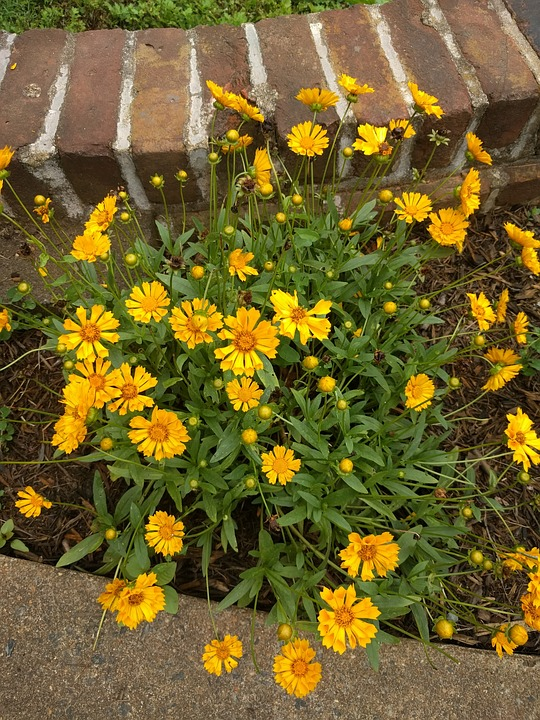 yellow-asters
