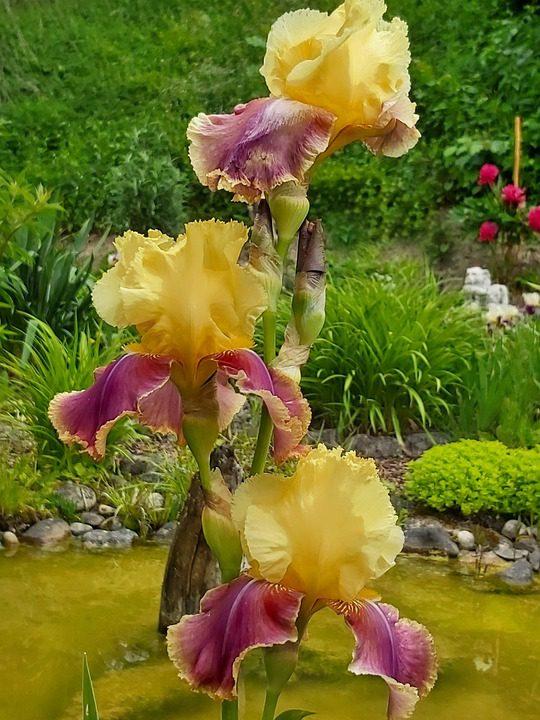 yellow-bearded-iris