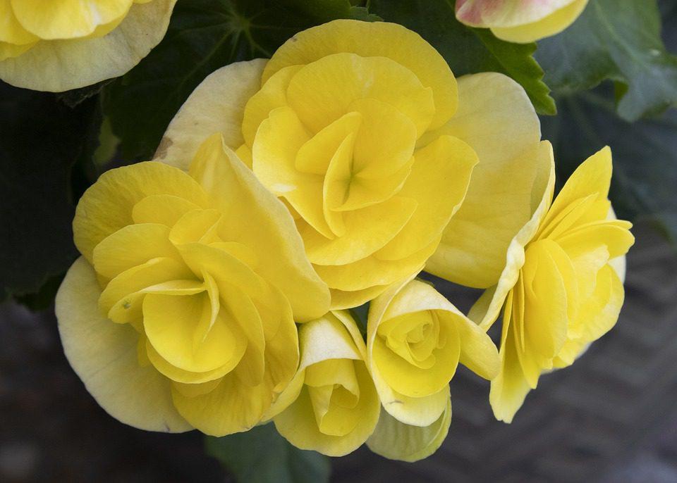 yellow-begonias