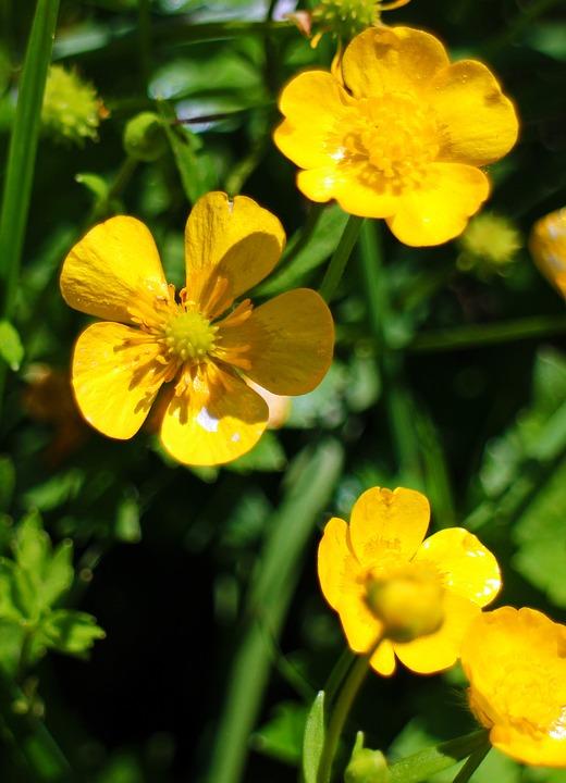yellow-buttercups