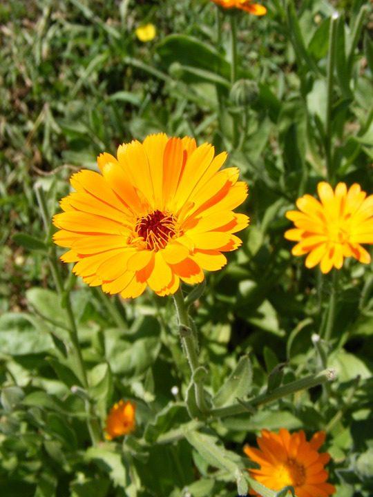 yellow-calendula