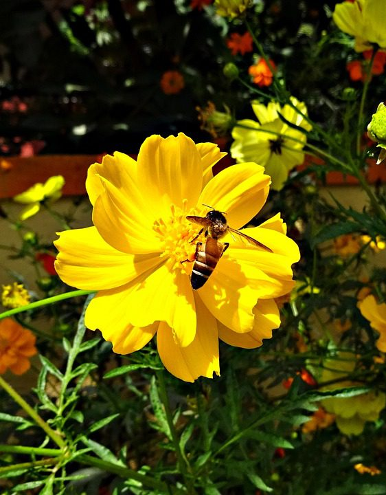 yellow-cosmo-flower