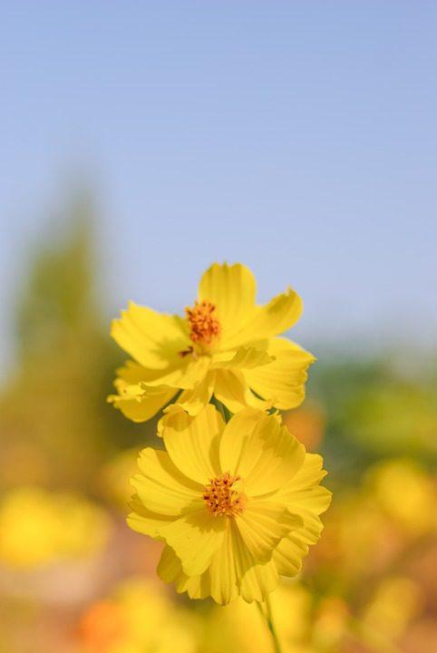yellow-cosmos-flowers
