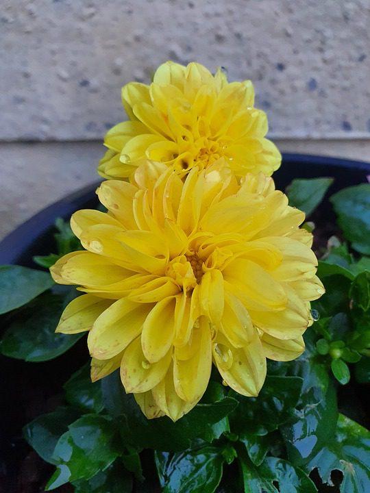 yellow-dahlias