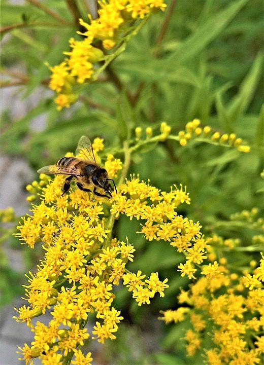 yellow-goldenrod