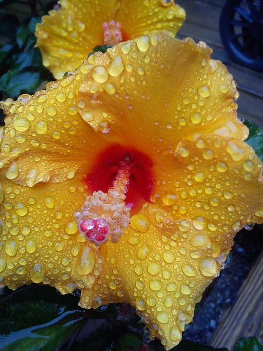 yellow-hibiscus