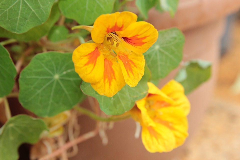 yellow-nasturtium