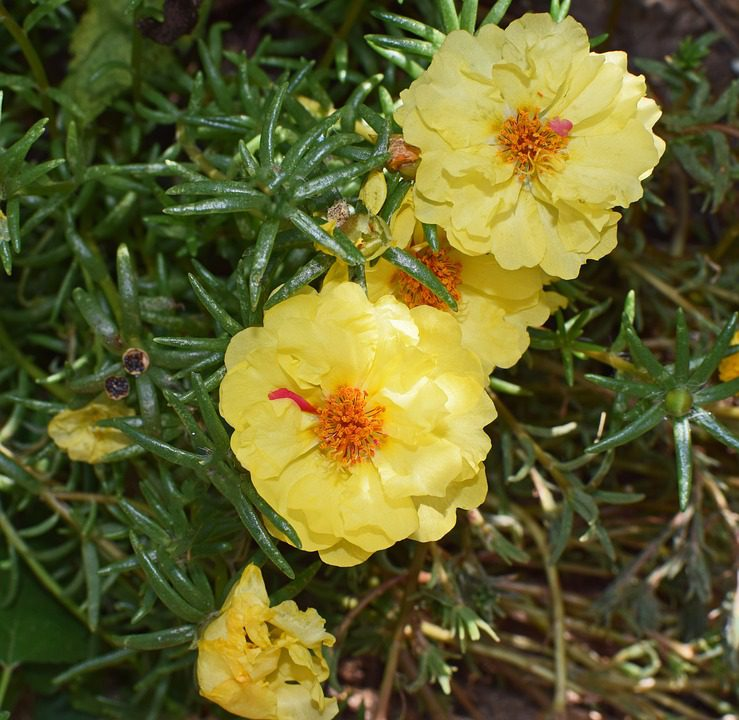 yellow-portulacas