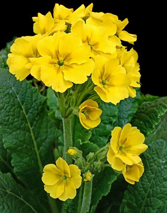yellow-primroses