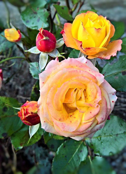 yellow-roses