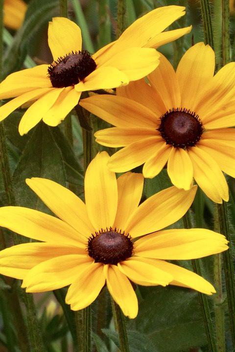 yellow_black-eyed-susan