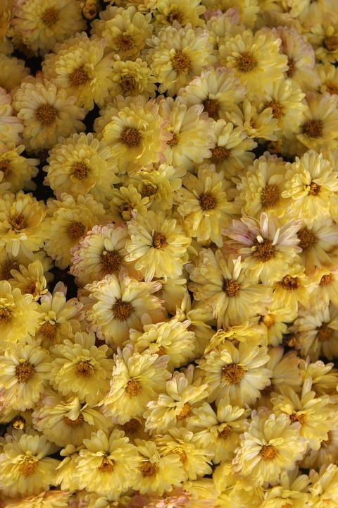 yellow_chrysanthemums