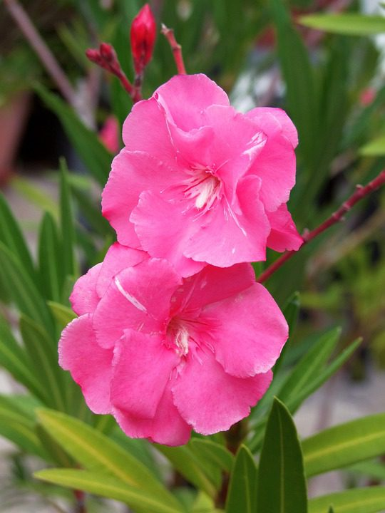 Nerium-Oleanders