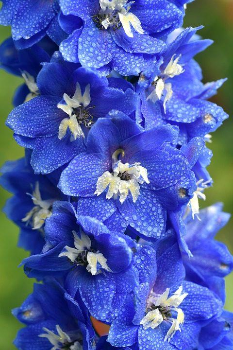 blue-larkspur