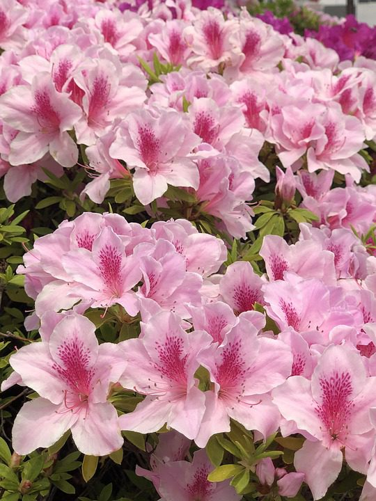 pink-azaleas