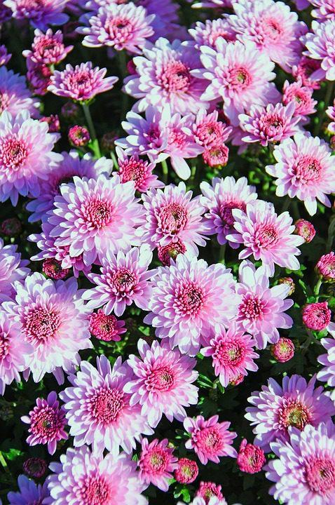 pink-chrysanthemums