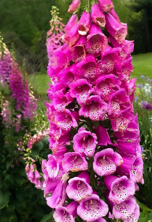 pink-foxglove