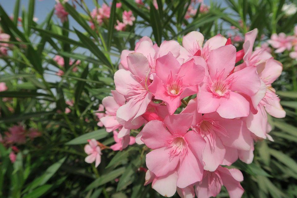 pink-oleander-flowers