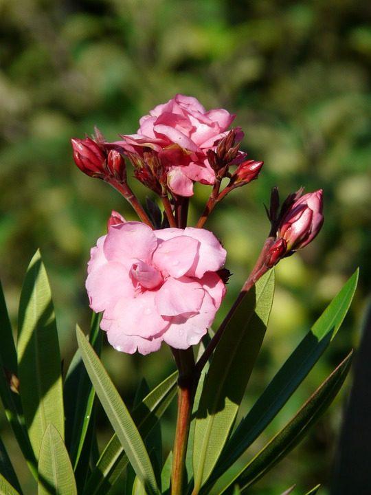 pink-oleander
