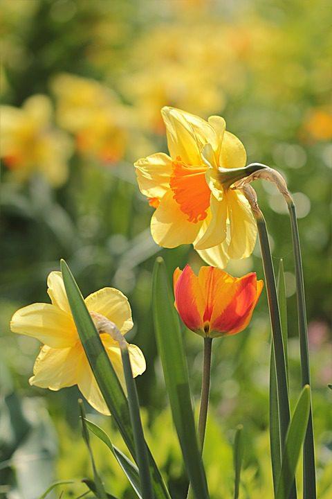 yellow-daffodils